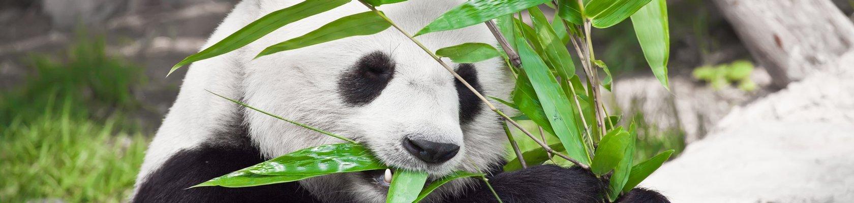 Panda's van Chengdu