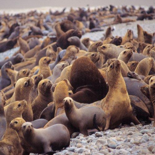 pe_al_sea lions - paracas.jpg