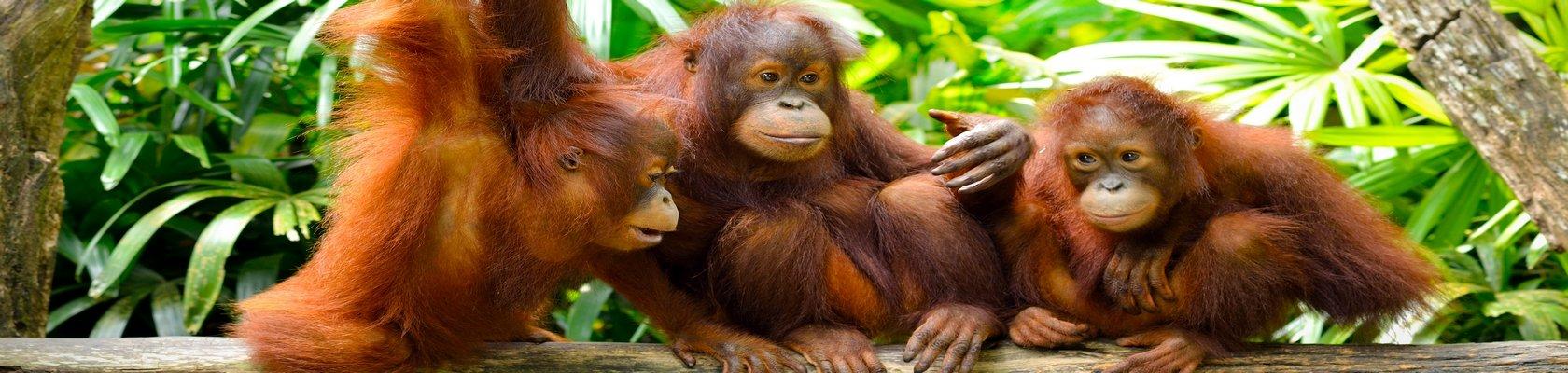 Zie de Orang Oetans op Sumatra