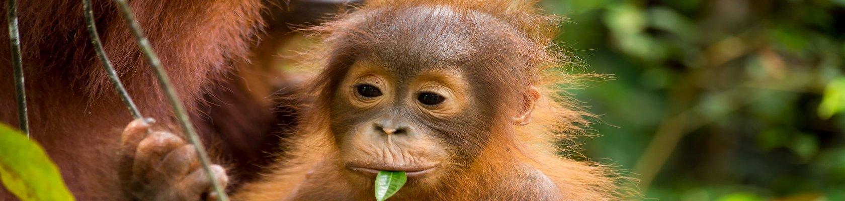 Zie de orang-oetans op Sumatra