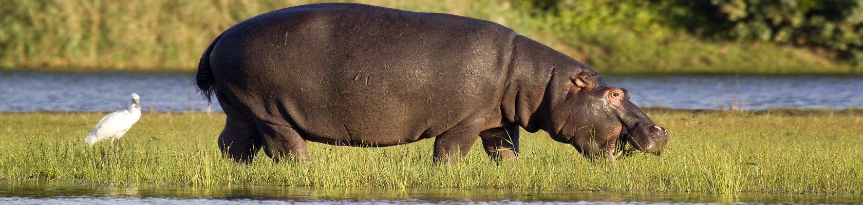 Nijlpaarden bij St. Lucia