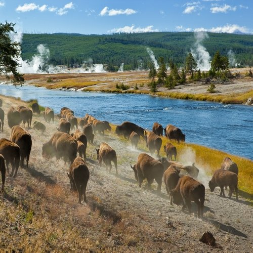 us_al_yellowstone buffels2.jpg