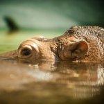 za__al_stlu_nijlpaard.jpg