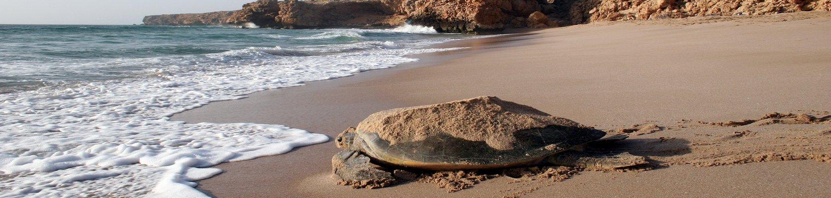 Schildpad, Ras al Hadd