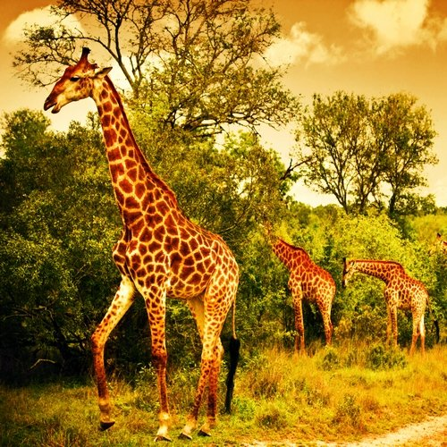 ke_al_masaimara giraffe.jpg