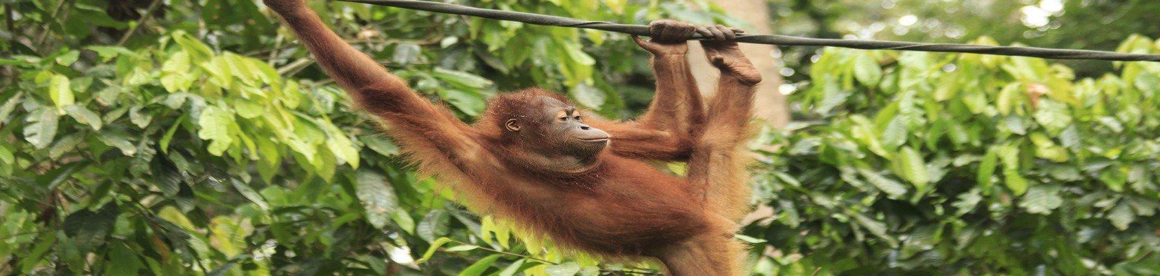 Bezoek aan de Orang Oetans van Sepilok