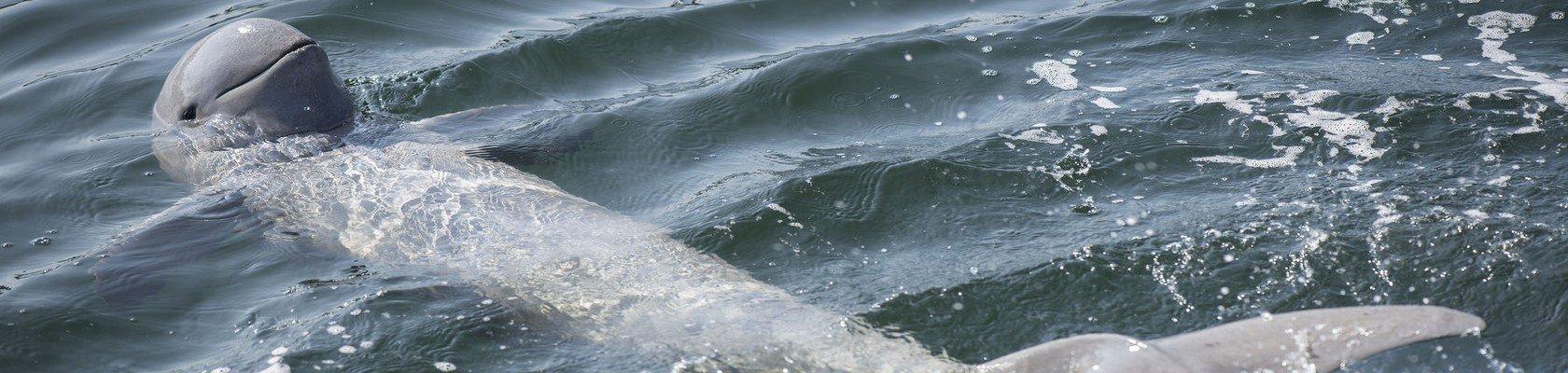 Zoetwaterdolfijnen van Stung Treng