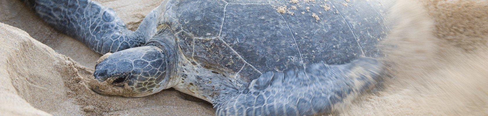Schildpadden bij Ras Al Jinz