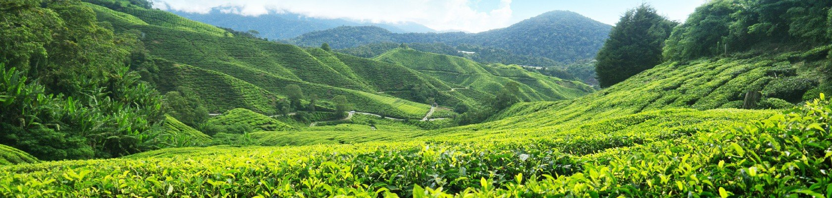 Theevelden van de Cameron Highlands