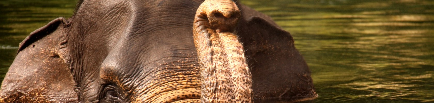 olifant in de rivier bij Tangkahan
