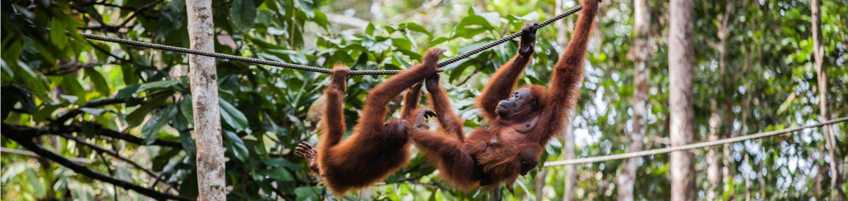 orang-oetans in het Gunung Leuser park