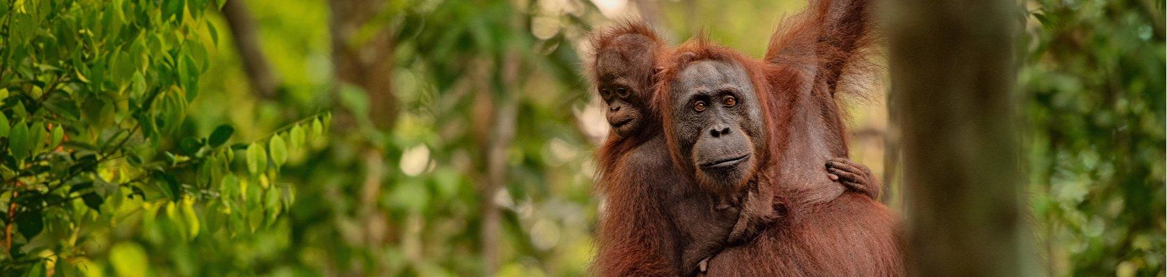 Orang oetans op Borneo