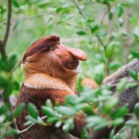 Neusaap Bako Nationaal Park
