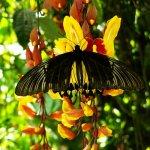 vlinder Cameron Highlands