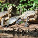 CR_AL_Tortuguero_schildpadden_95638111