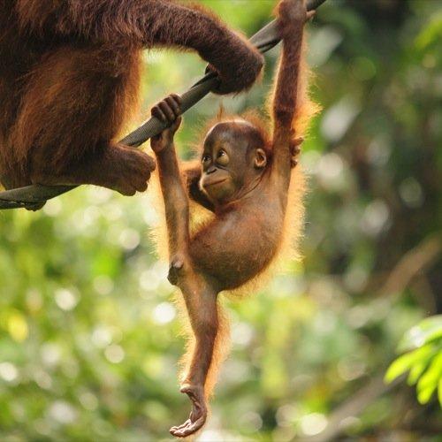 MY_AL_Orangoetan_baby_121340395