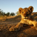 ZA_AL_Kruger_baby_leeuw_72219214