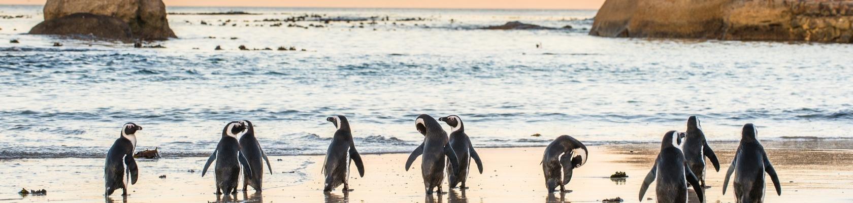 Pinguïns bij Kaapstad