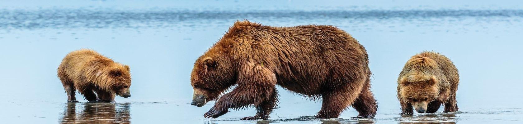 Jagende beren langs de kust