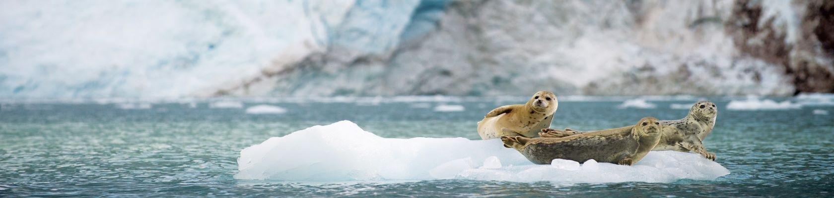 Zeehonden op ijsschotsen