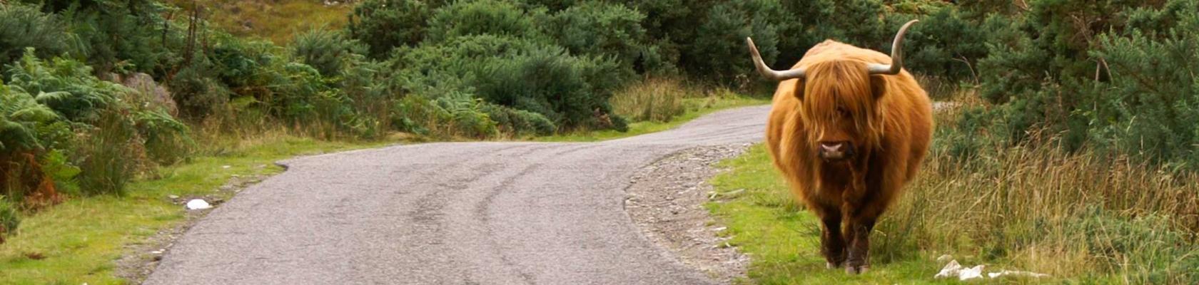 Schotse Hooglander op de weg
