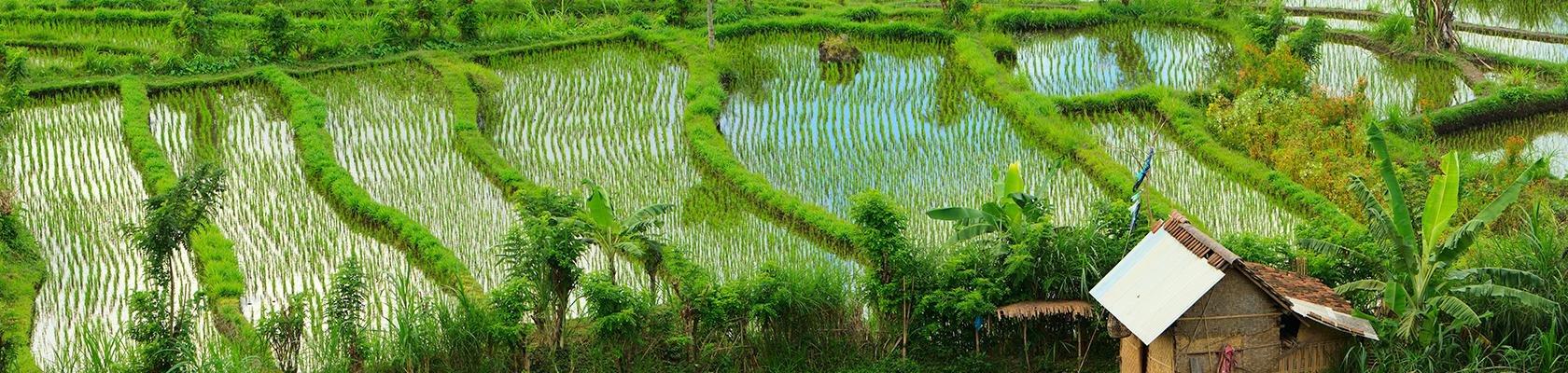 Indonesië - Bali - Rijstvelden