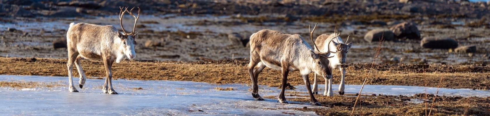 Rendieren in noordelijk Scandinavië